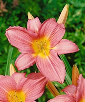 Hall's Pink Daylily - 2 root divisions