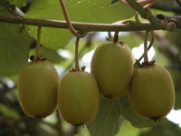 Hardy Kiwi Plants-Meader