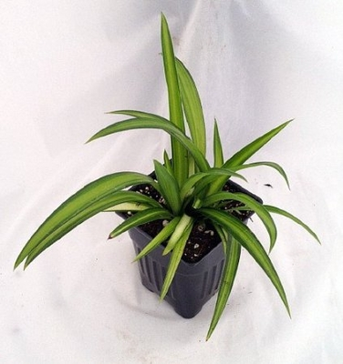 Hawaiian Spider Plant - Easy to Grow - Cleans the Air - Creme & Green