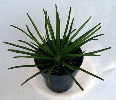 Hedgehog Agave Plant - Sun/Shade - Indoors/Out - Agave geminiflora
