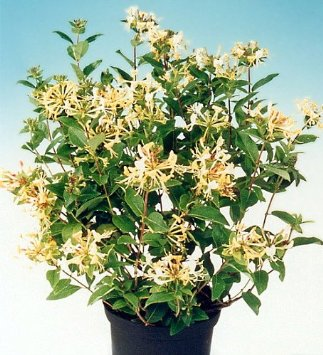 Honeysuckle Bush - 2.5 Pot