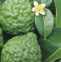 Kaffir Lime Grafted Citrus Tree