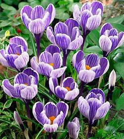 King of the Striped Large Flowering Crocus - 5 bulbs