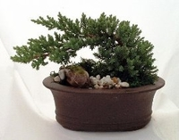 Large Japanese Juniper Bonsai Growing in Oval Ceramic Pot