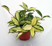 "Lemon & Cream Wax Plant - Hoya - Great House Plant - 4"" Pot"