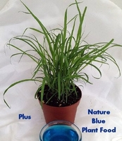 Lemon Grass Plant- Must Have Herb!