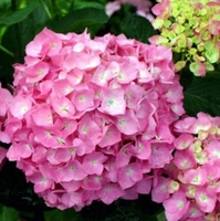 Let's Dance Moonlight Hydrangea 4 inch pot