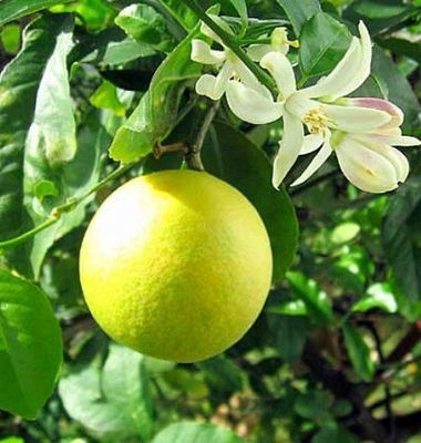 "Meyer Lemon Tree - Potted - Fruiting Size - 8"" Pot - Citrus"