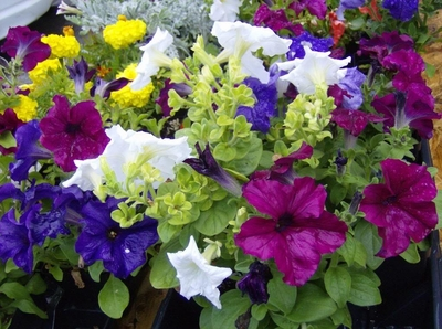 MIXED COLORS PETUNIA 250 Flower Seeds