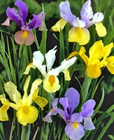 Mixed Dutch Iris - 5 bulbs