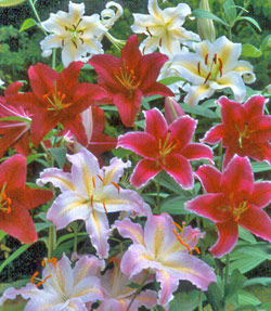 Mixed Oriental Lily - 3 bulbs