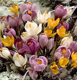 Mixed Species Crocus - 5 bulbs