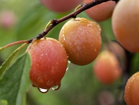 Morris Fruiting Plum Tree