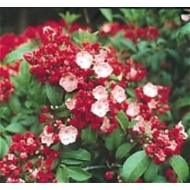 Mountain Laurel Ostbo Red