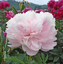 Myrtle Gentry Peony - 1 root division