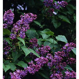 Old Fashioned Fragrant Lilac Shrubs