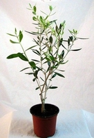 Olive Tree - Tree of Peace - Olea europaea
