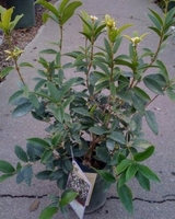 Osmanthus Fragrans Sweet Olive One Gallon