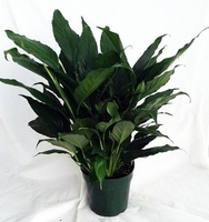 Peace Lily Plant - Spathyphyllium - Great House Plant