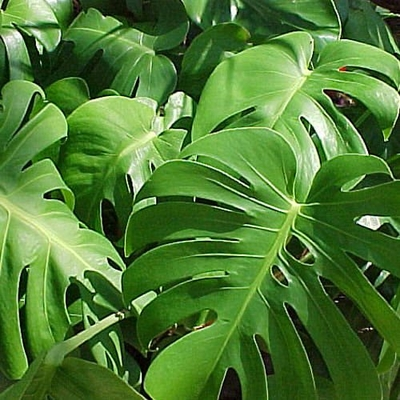 Philodendron Split Leaf Monstera deliciosa Folage Plant