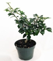 "Pre Bonsai Tree - Gmelina philippensis - 4"" Pot - Indoors"