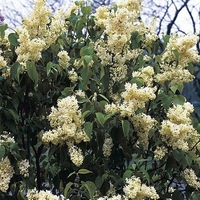 Primrose French Lilac - Syringa - First Yellow Lilac