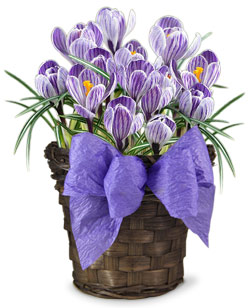 Purple Crocus Gift