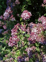 Purple Oregano Herb - Good Scents/Good Groundcover