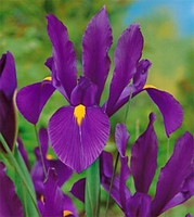 Purple Sensation Dutch Iris