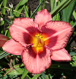 Raspberry Ruffles Daylily - 2 root divisions
