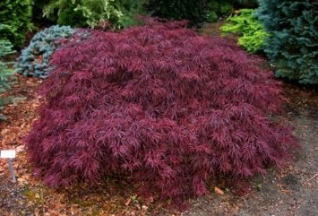 Red Dragon Weeping Japanese Maple 2 - Year Graft