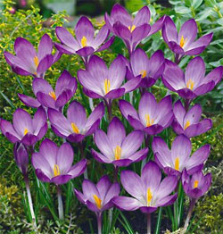 Ruby Giant Species Crocus - 5 bulbs