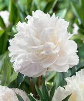 Shirley Temple Peony - 1 root division