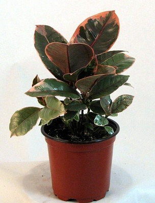 "Strawberry & Cream Ruby Rubber Tree Plant - Ficus - 4"" Pot"
