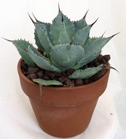 Tequila Blue Agave Cactus / Agave Plant - Easy to Grow