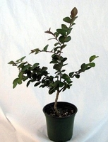 "Tightwad Crape Myrtle Tree - Red Flowers - 4"" pot"