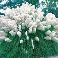 White Pampas Grass - 200 Seeds