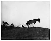 Crown Hill  horses 1895
