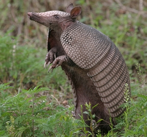 Armadillo Tail - 3 Tails