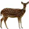 Axis Deer - Whole Carcass - USDA Inspected - 10 to 15 Lbs.