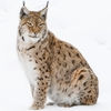 Bobcat Hind Leg - Average Weight 5 Lbs. and up
