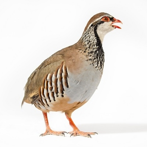 Chukar Partridge Meat - 1 Dressed Bird