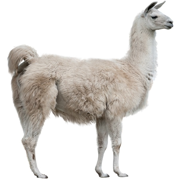 Llama Meat Buy Exotic Meats Game Meats On Sale
