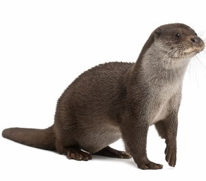 Otter Meat