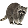 Raccoon Meat - 1 Whole Dressed Animal - Average Weight 16 to 20 Lbs.