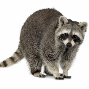 Raccoon Meat - 1 Whole Dressed Animal - Average Weight 3 to 5 Lbs.