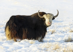 Yak Arm Roast - Approx Weight 3 to 4 Lbs.