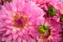 Hot Pink Dahlias Wall Art