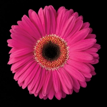 Hot Pink Daisy Wall Art