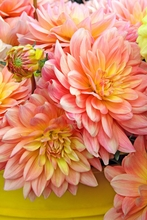 Peach Dahlias Wall Art